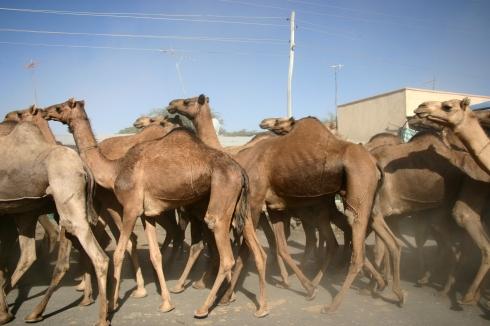 Bizu Camels - Credit: Morgan Davison