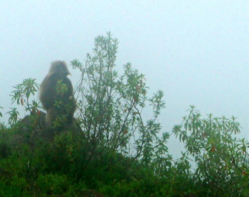 Chilada Baboon in the mist (also endemic)