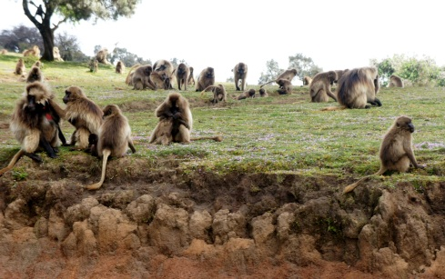 Gelada Baboons... or the University of Michigan researchers have determined they are the last of their kind of monkey
