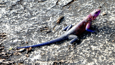this lizard was neon purple and pink