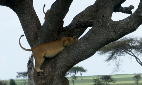 lions in a tree!