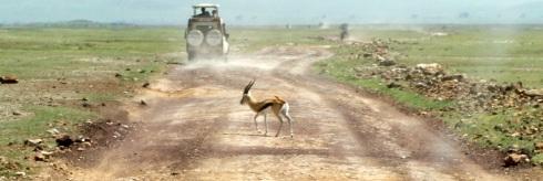 gallopin' (Thompson Gazelle)