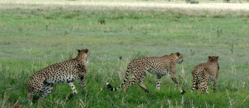 three cheetahs at once! so rare