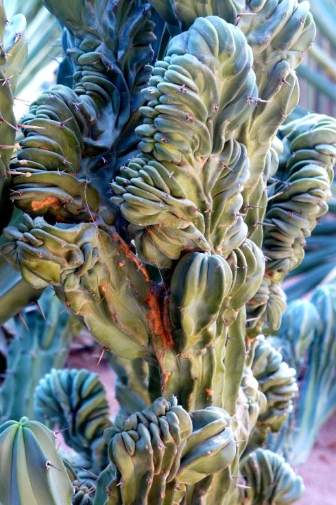 Majorelle Gardens - crazy cactus