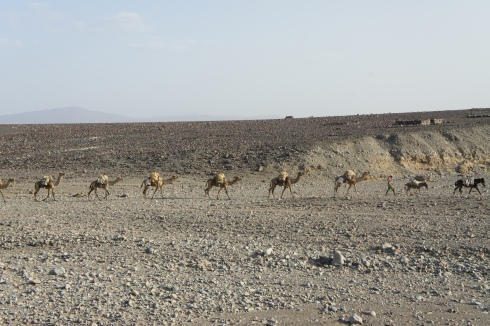 On their way to Tigray. Each camel is carring upwards of 200 lbs of salt.